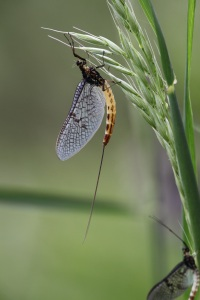 The mayfly's lifecycle: a fascinating, fleeting story | The