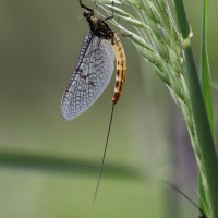 The mayfly's lifecycle: a fascinating, fleeting story