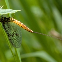 Mayfly week: A brief history of fishing flies