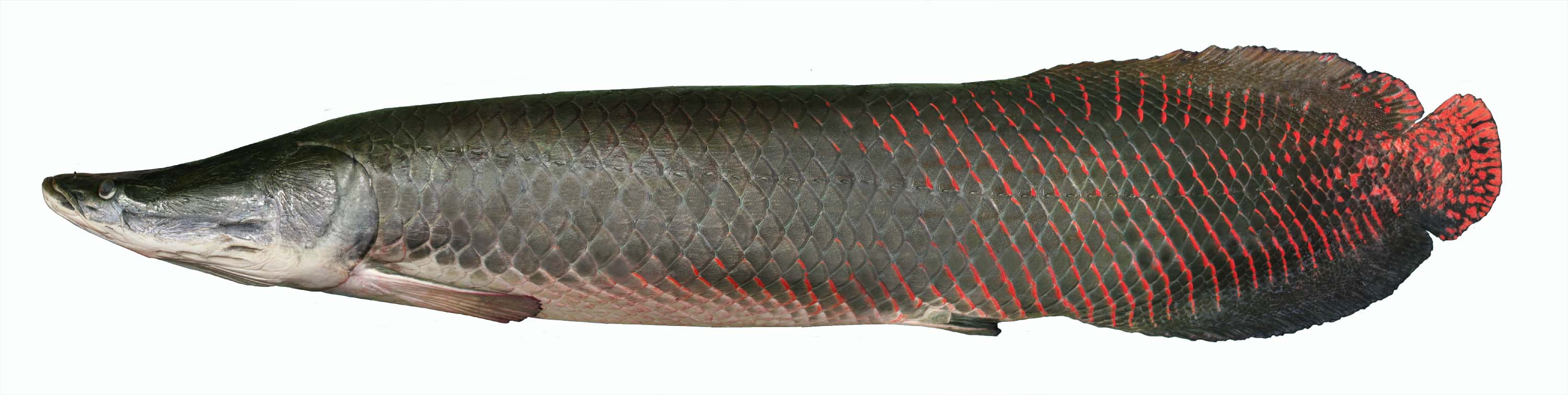 Arapaima another reason to be concerned about the for Freshwater wolf fish