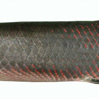 Arapaima - another reason to be concerned about the Brazilian forestry bill