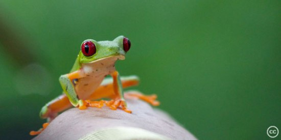 Red-eyed Tree Frog. Photo: Creative Commons