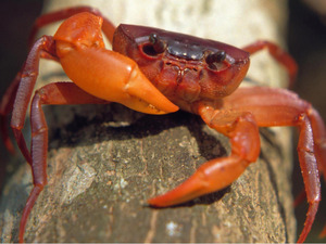 Liberian tree-hole crab