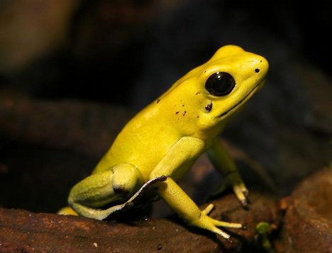 Golden Tree Frog. Photo: Creative Commons