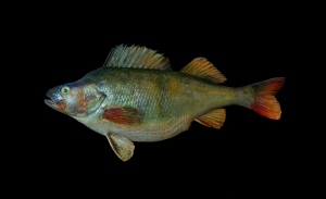 European Perch (Perca fluviatilis). Photo: Wikimedia commons