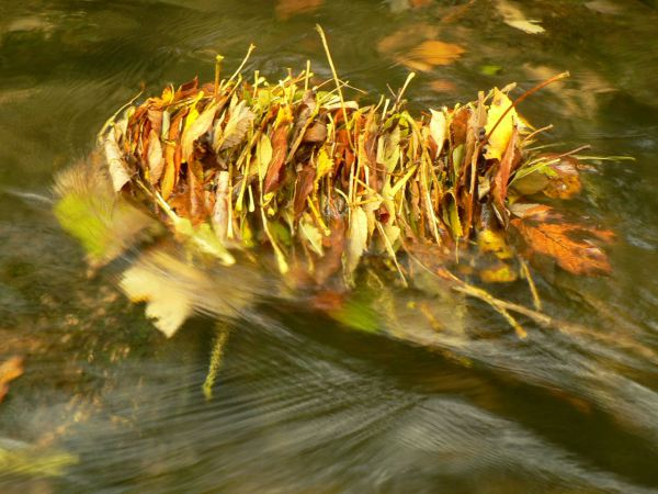 Leafpack in the Cuisance river, France. Photo: Nuria Bonada