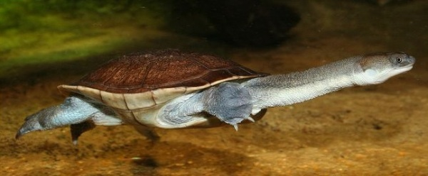 The critically endangered Roti Island snake-necked turtle is highly desirable in the exotic pet market, fetching €2,000 for one animal.