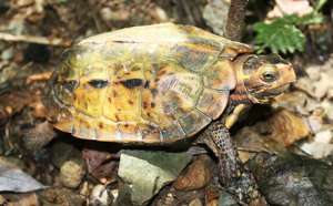The Ryukyu black-breasted leaf turtle is a National Treasure of Japan.