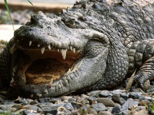 Siamese Crocodile Vietnam is one of the rarest crocodiles in the world