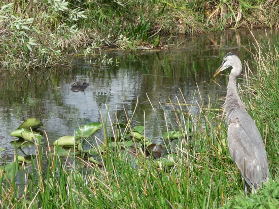 Heron eying an alligator in the Forida Everglades