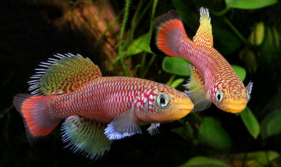 Killifish. Photo: Hristo Hristov.