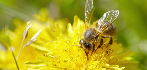 Bee - Ecosystem services
