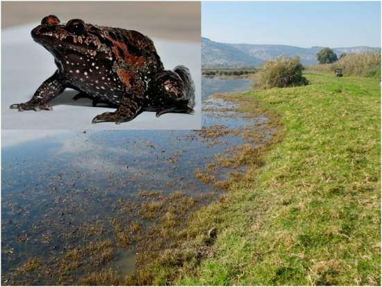 Female Hula painted frog (top left) and the typical habitat in the Hula reserve. Photo: Biten et al.