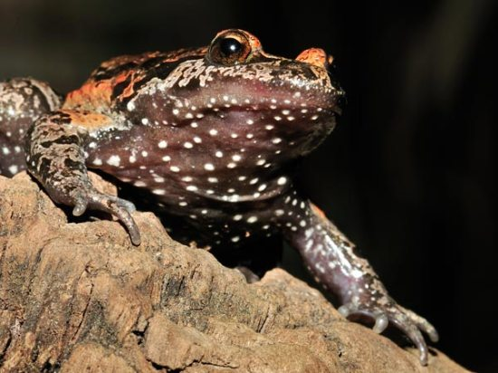 The elusive hula painted frog now turns out be a 'living fossil'. Photo: Frank Glaw.