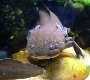 The axolotl (Ambystoma mexicanum), one of the top five contenders for world's ugliest animal. Author: Stan Shebs, Source: Wikimedia Commons