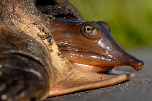 Not your average cuddly mascot - a Florida softshell turtle (Apalone ferox) at Lake Woodruff. © Andrea Westmoreland, Source: Wikimedia Commons