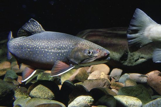Brook trout. Photo by Eric Engbretson, U.S. Fish and Wildlife Service [Public domain], via Wikimedia Commons