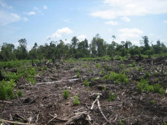 Degraded peat swamp forest behind an area cleared for an oil palm plantation. ©Lydia Cole