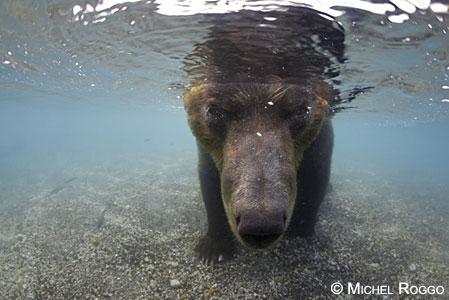 Brown bear fishing, Kamchatka, Russia