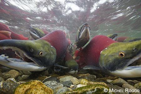 Sockeye salmon, Adams River, British Columbia, 2010