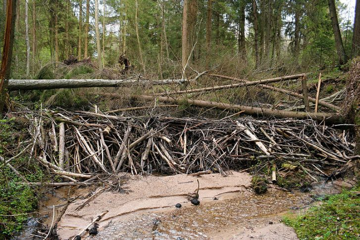 Beaver dam in Lithuania (Image: Wikipedia)