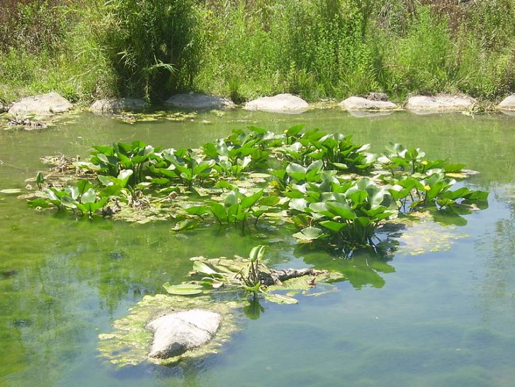 Yellow water lily (Nuphar lutea) in the Snir River, Upper Galilee (Image: Wikipedia)