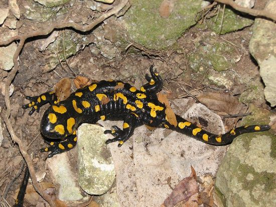 The Far Eastern fire salamander (image: Wikipedia)