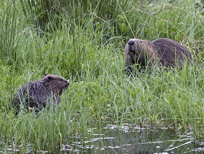 Mother and kit on Tayside (Image: Ray Scott)