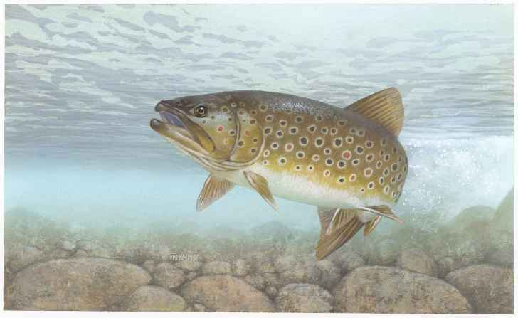 Brown trout by T Knepp. Source Wikimedia Commons