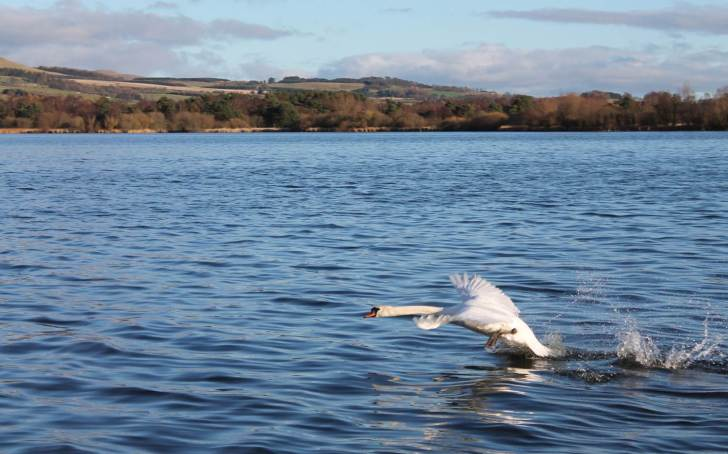 A swan taking off from Loch Leven, Scotland.  Image: L Carvalho.