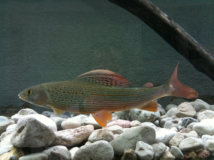 The European Grayling, a fish important to Rafaela's research