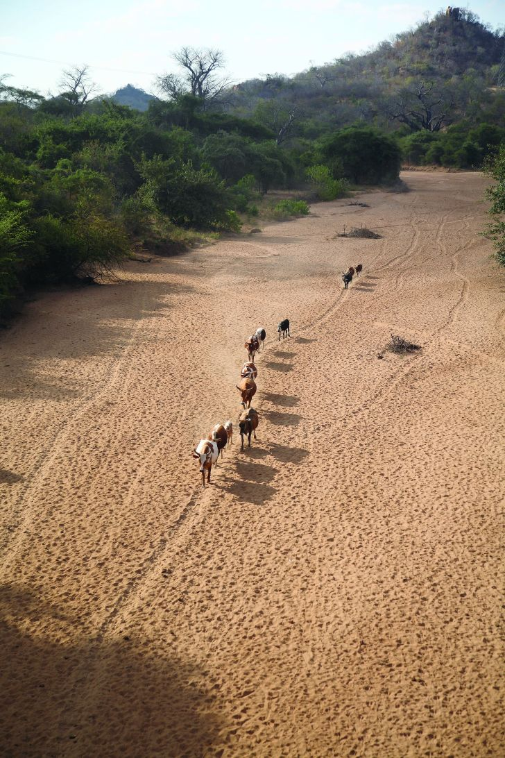 Cattle using a dry river bed in Mozambique as a migration corridor.  Image: Stevie Mann / Wikimedia