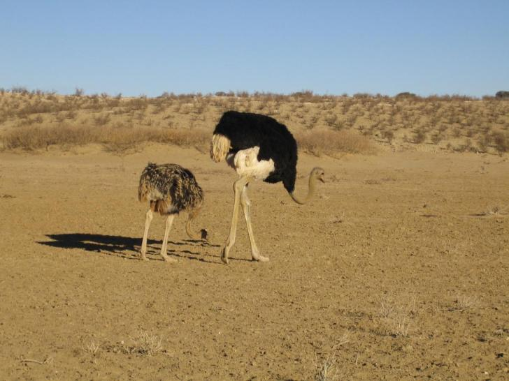Ostriches feeding on a dry river bed in the Kgalagadi Transfrontier Park, Botswana.  Image: Wikimedia
