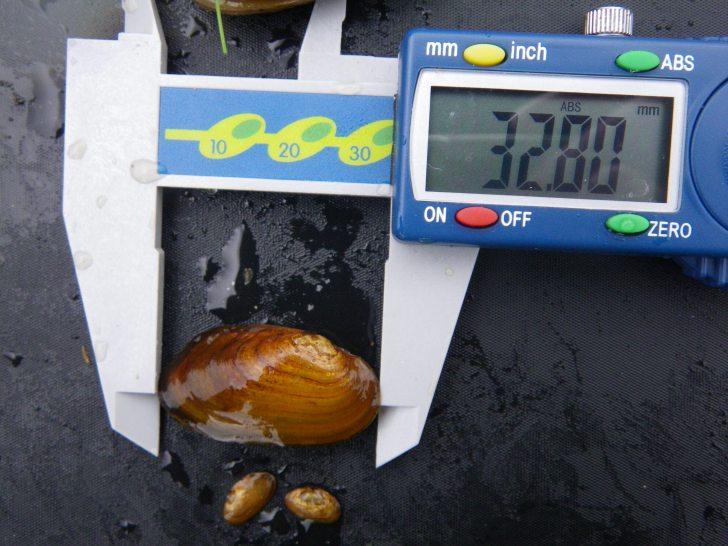 Measuring juvenile freshwater mussels.  Image: J Webley / SNH