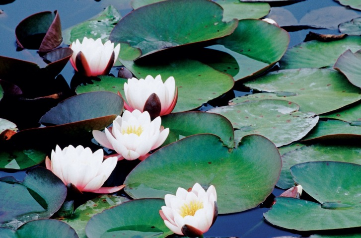 Water lilies, an important macrophyte.  Image: Wikipedia
