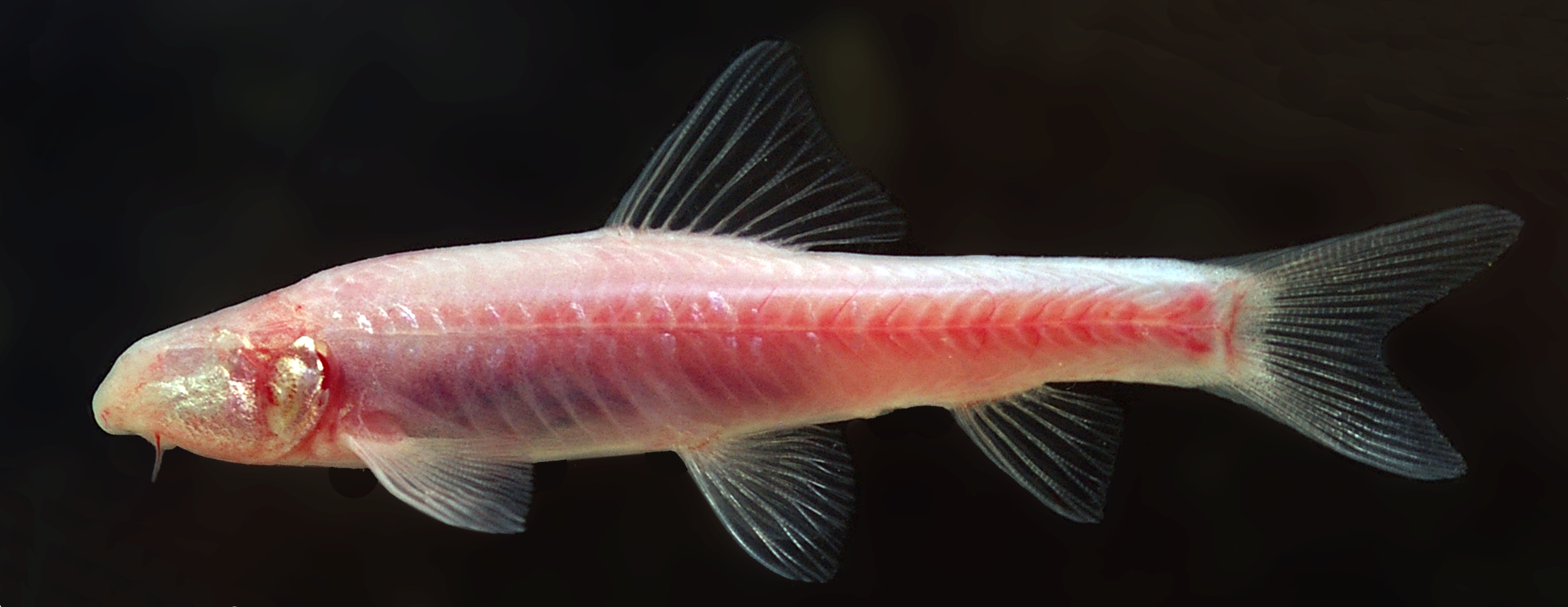 Water and wetlands in the eastern mediterranean critical for Endangered fish species