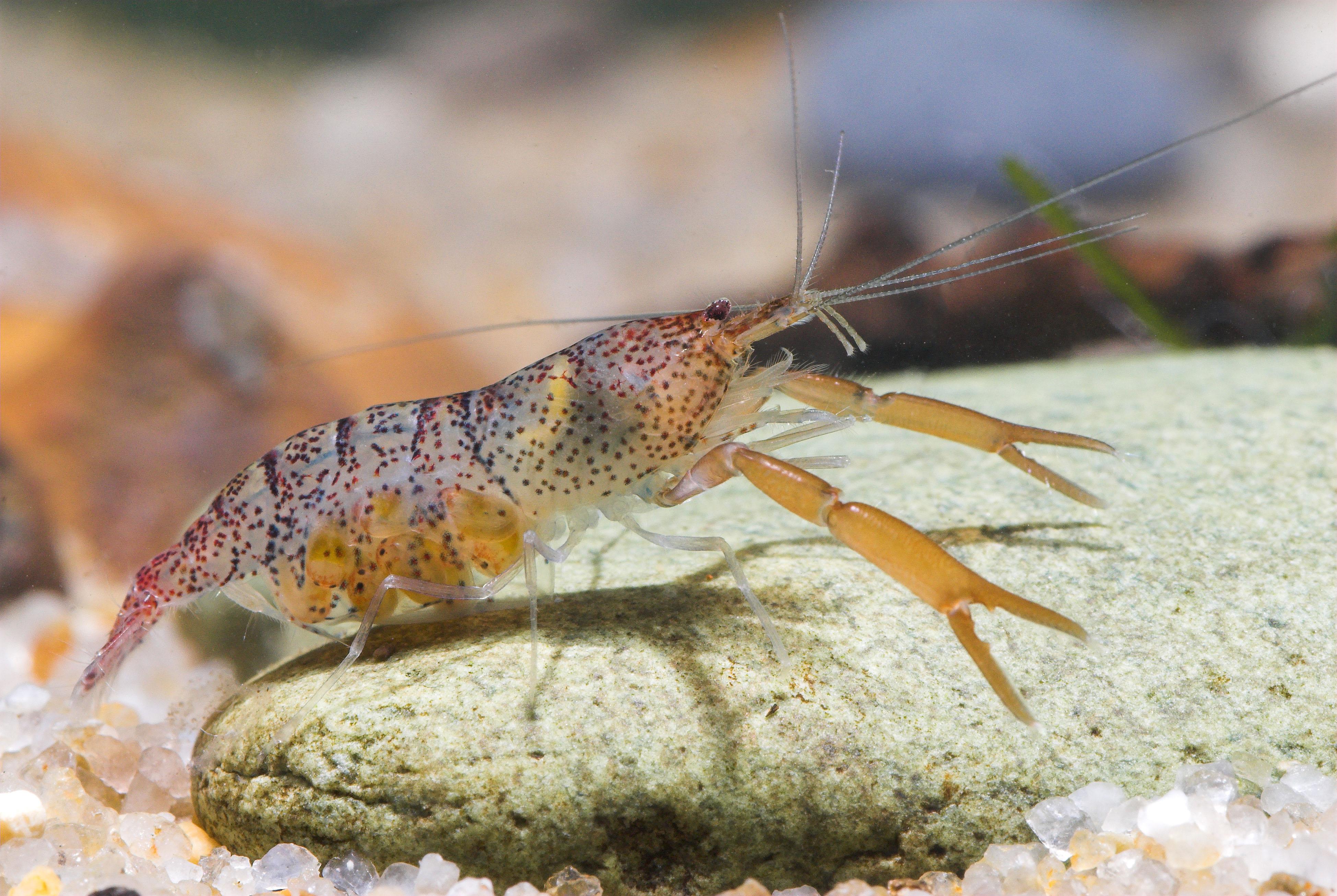 Dead Shrimp Blues: The Imperilled Status of Freshwater ...Freshwater Shrimp