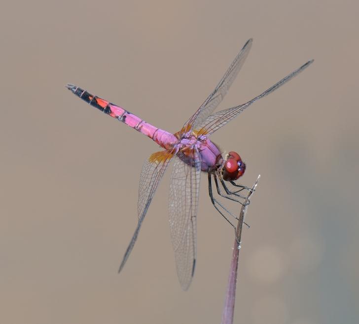 Superb Dropwing (Trithemis hartwigi) Image: Nico Meziere