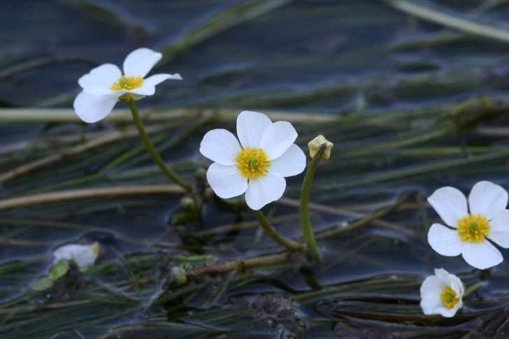 Ranunculus hybrid in the River Creuse, France.  Image: R Lansdown