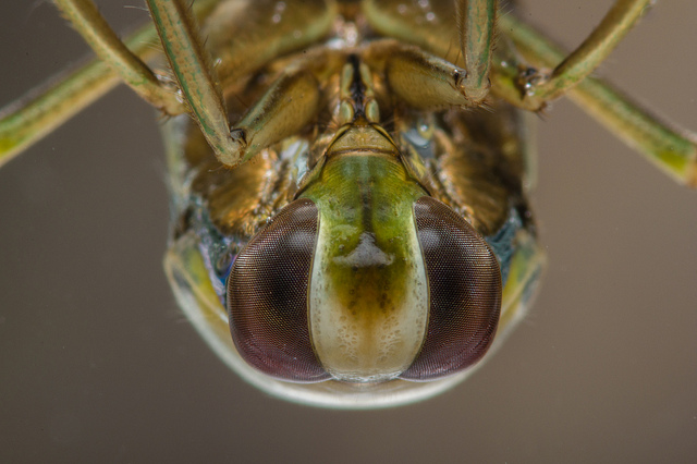 An unfamilliar view of a familiar creature: the common backswimmer (or water boatman). Image: Neil Phillips