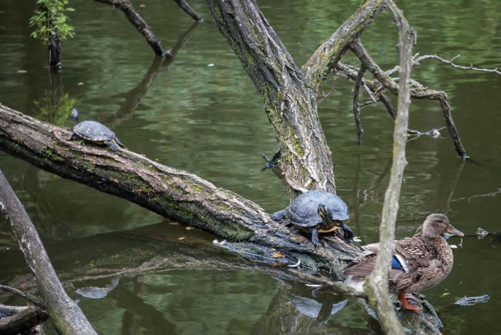 Red-eared turtles in Lake Baldeney, Essen, Germany. Image: Christian Feld