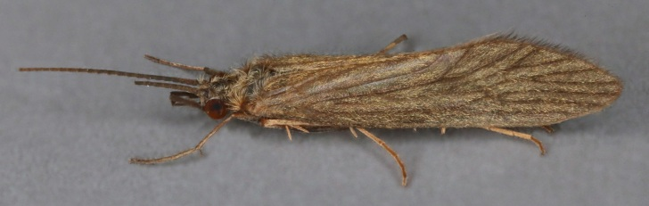 Adult caddisfly (Tinodes waeneri). Image: Janet Graham | Flickr Creative Commons