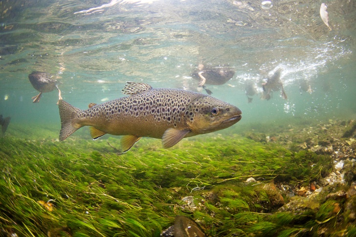 A brown trout swims in the clear waters of the river test