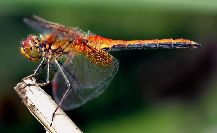 dragonfly-1_x