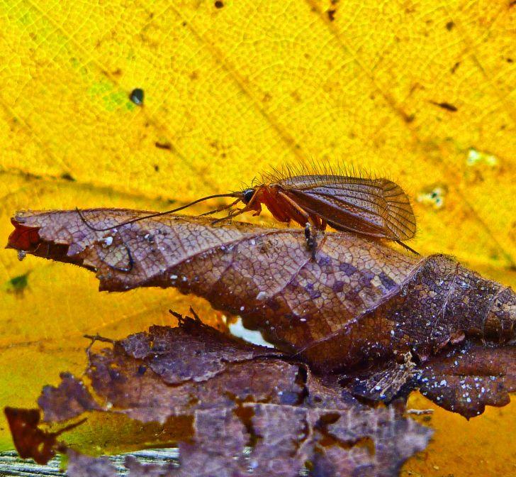 Chaetopteryx rugulosa