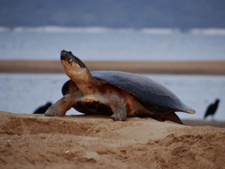 freshwater_turtle_priscila_miorando