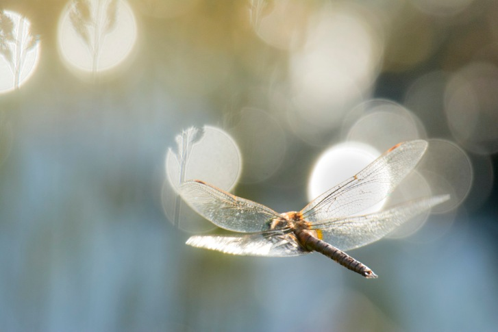 dragonfly flight