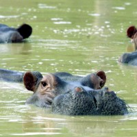 Are Pablo Escobar's hippos restoring 'lost' ecological processes to Colombian freshwaters?